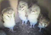Cute fuzzy owls from the barn owl cam. AWW!